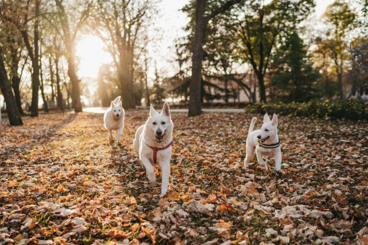 south bear creek - three dogs running through the park during the fall