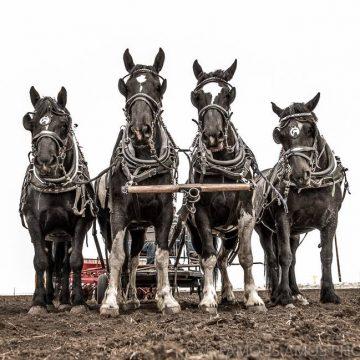 Horse drawn wagon at Northern Spirit Light Show in Grande Prairie, Alberta.