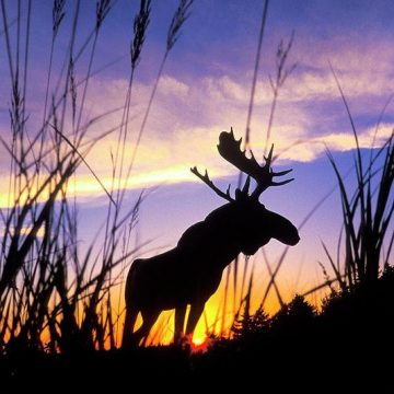 A silhouette of a moose